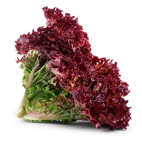 تعرف الفرق الوحيد والمهم الخس lolloroso-lettuce.jpg